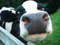 FARTING COWS START FIRE AT DAIRY FARM