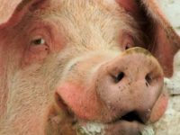 [WATCH!] MUSLIM DEMANDS TEXAS PIG FARMER TO MOVE- HERE'S WHAT HE DID!